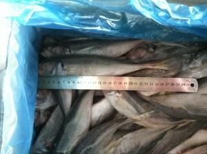 horse mackerel veder supplies