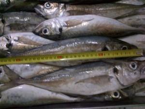 frozen fish veder supplie